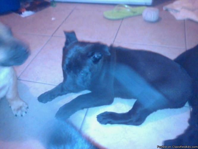 Chow Mix Puppy For Sale Chow Pit Mix Puppies Price