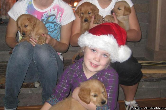 CHRISTMAS PUPPIES GOLDEN RETRIEVERS AKC REGISTERED W/PAPERS - Price: $1,200.00