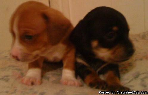 christmas puppies - Price: 150.00
