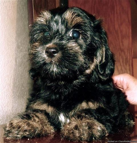 CHRISTMAS SALE!! Shorkie poo Puppies 4 mos old - Price: 450 in Yakima ...