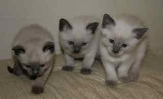 Christmas Siamese Kittens - Price: 425