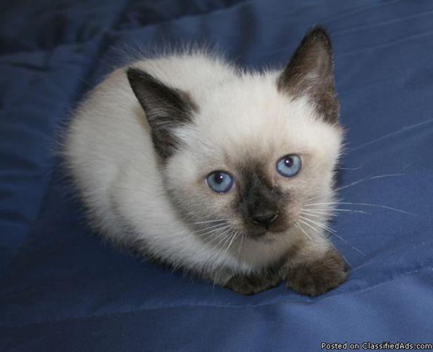 Christmas Traditional Siamese Kitten - Price: 425