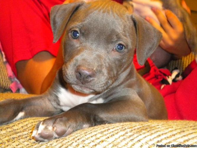 CKC American pitt bull puppies blue & fawn - Price: $200