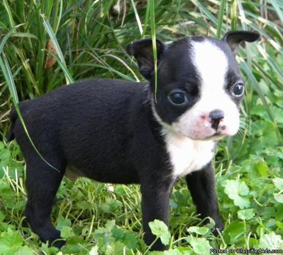 CKC Boston Terrier Puppies Ready Aug 19th - Price: 300 00