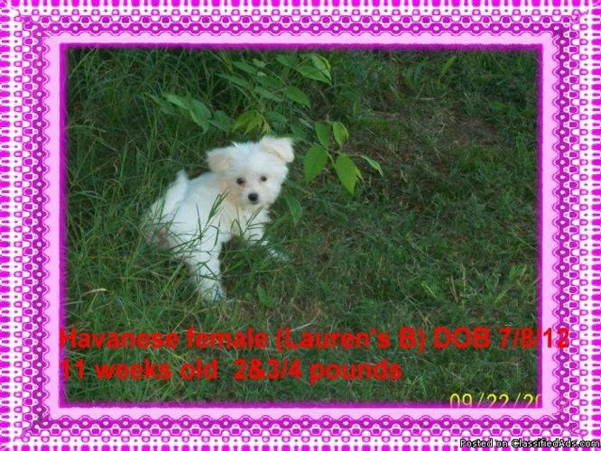 CKC Havanese Puppies!! Beautiful!! Cullman,Alabama - Price