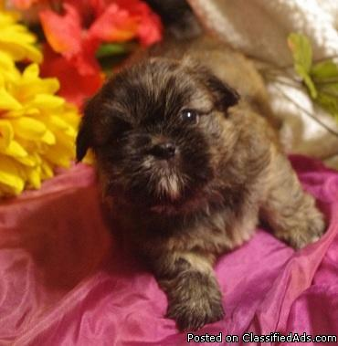 CKC IMPERIAL MALE SHIH TZU PUPPY FOR CHRISTMAS - Price: $275