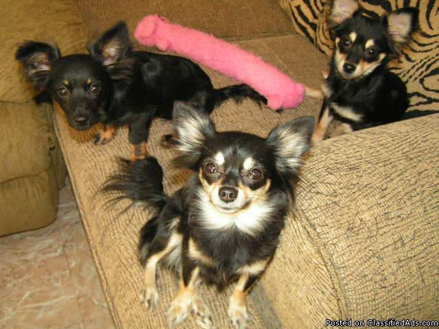 CKC Long Hair Chihuahua's - Price: $400 00-$600 00 for sale