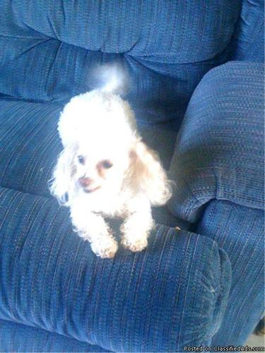 CKC MALE SMALL TOY POODLE - Price: 500.00