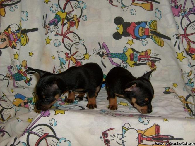 CKC REG CHIHUAHUA PUPS - Price: 125.00