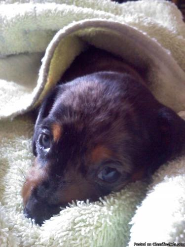 Ckc Registered Mini Dapple Dachshund Price 350 00 For Sale In