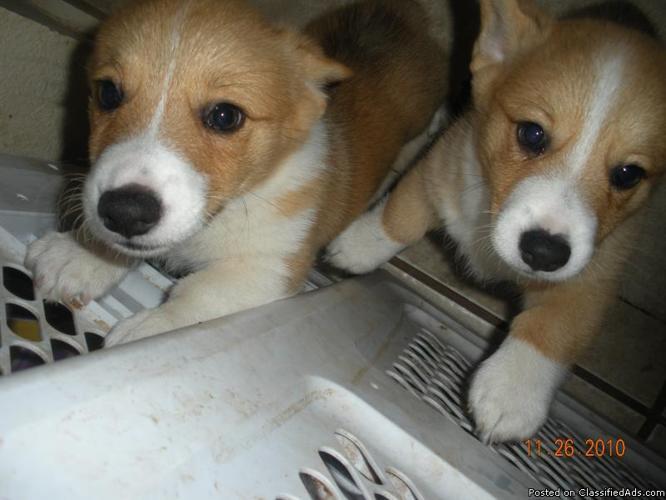 Corgi Puppies for Sale - Price: 400.00