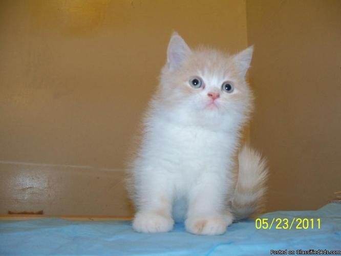 Persian Kittens For Sale In Alabama