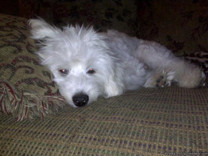Cuddly Maltipoo puppy - Price: 400 for sale in Spokane, Louisiana