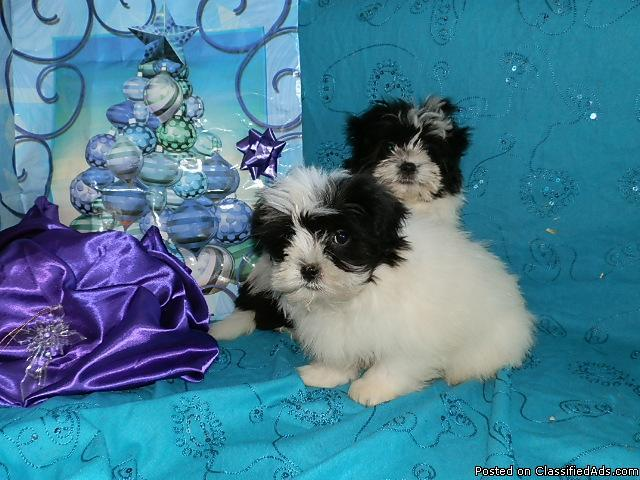 *****CUTE and very soft MALTE-TZU (Maltese/Shih-tzu) Puppies***** - Price: 375