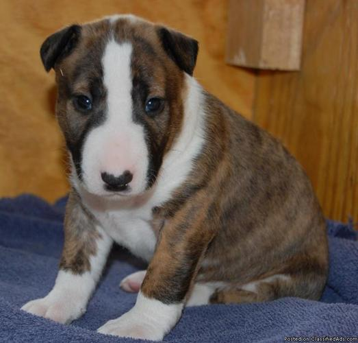 Cute Bull Terrier puppies for sale - Price: 1400