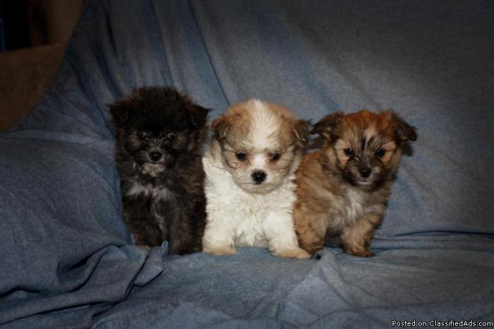 Maltese Yorkie Cross Puppies Sale images