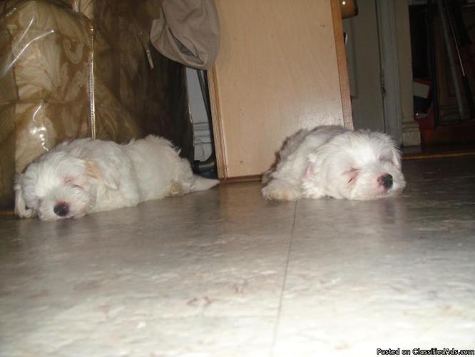 Cute maltees(puppys) For salee!! - Price: 300