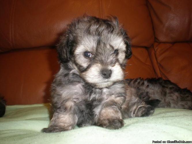 Pomeranian Haircuts Poodle Mix