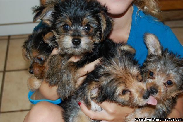 Cute yorkie pups - Price: 300