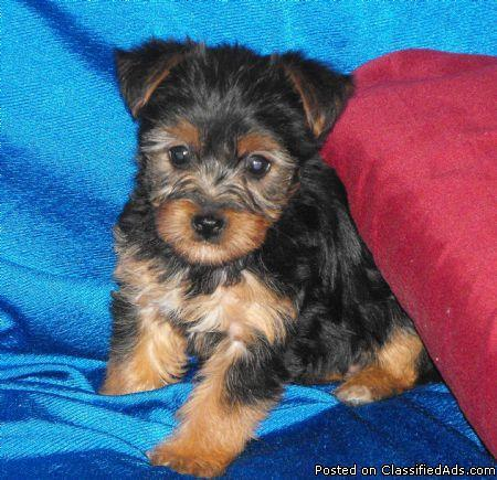 Cute Yorkies For Sale - Price: $899 00 for sale in Miami, Arizona