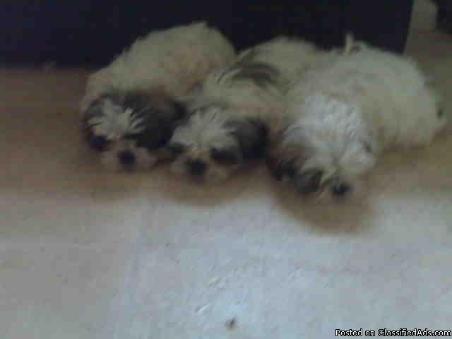 Cute Zhi Tzu Puppies - males and females - Price: $350.00 each