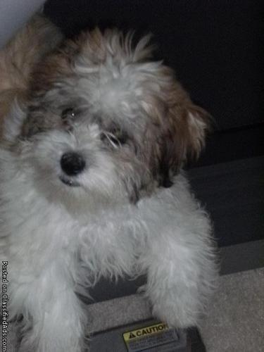 cutie teacup shih tzu /maltese puppy - Price: 900.00