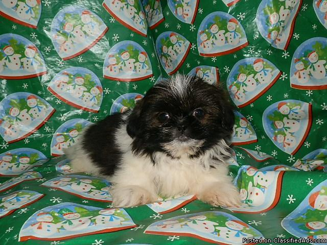 ****Darling LITTLE Shih-tzu Puppies**** (IMPERIAL) - Price: 350
