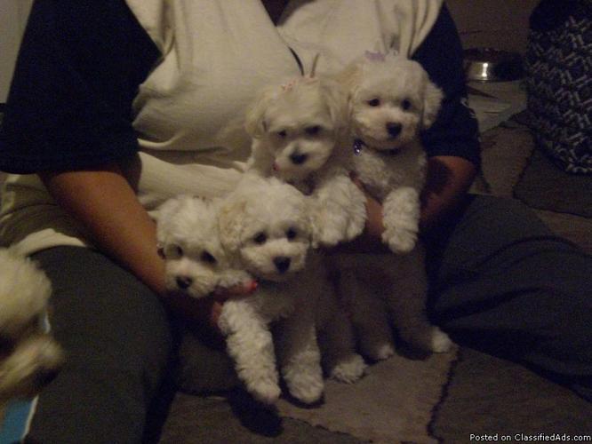 Designer Puppies - Price: 550.00