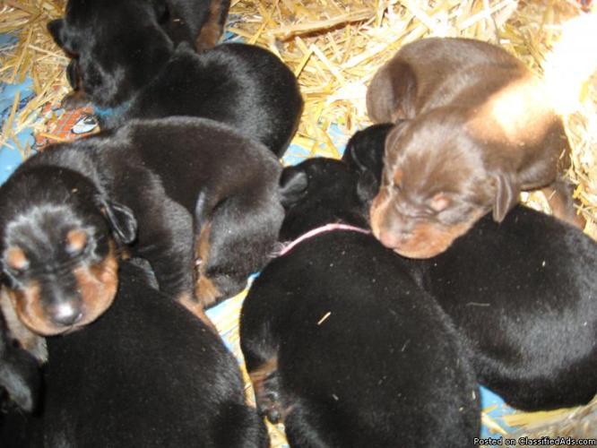 Doberman Pinscher Puppies - Price: $650 for sale in Rexburg