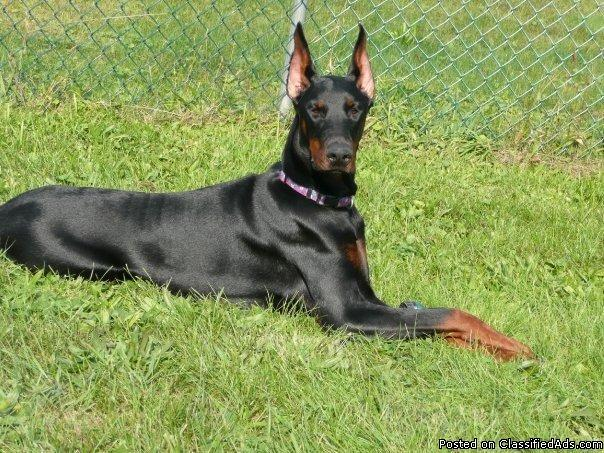 Doberman Pup's AKC CH Bloodlines - Price: $1,500 for sale in
