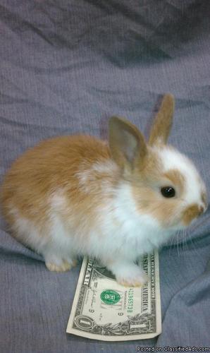 Teacup Bunnies For Sale Dwarf bunnies for sale south
