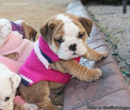 English Bulldog puppies, AKC, health and happy - Price: 1500.00