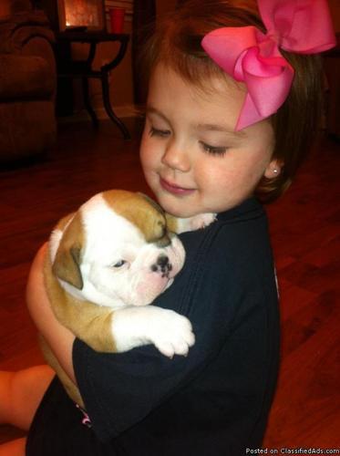 English Bulldog puppy - Price: $1000