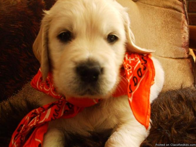 English Creme White Golden Retriever Puppies Price 850 00 For