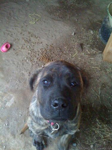 English Mastiff Female Puppy - Price: 300.00