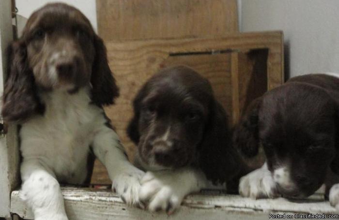 English Springer Spaniel Puppies Price 35000 For Sale