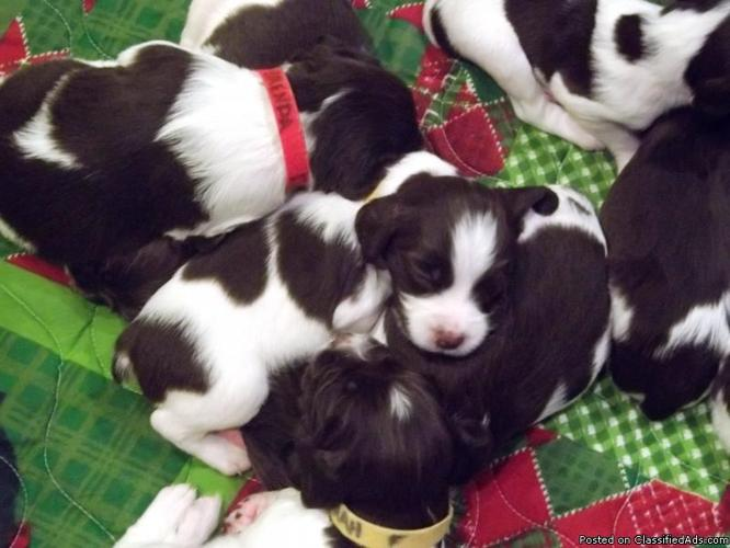 English Springer Spaniel Puppies - Price: $500.00
