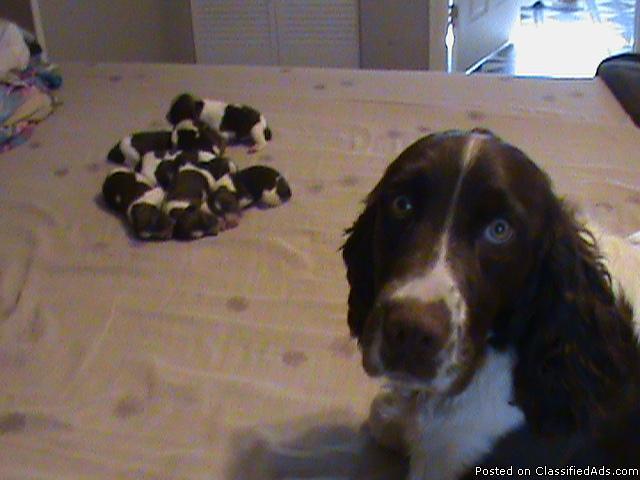 English Springer Spaniels Born 7/11/2012 Liver and White - Price: 300