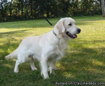 English golden retriever and adult
