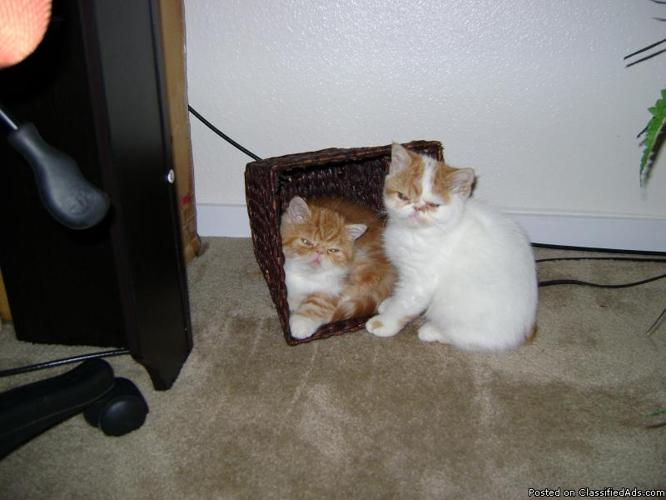 Exotic Shorthair kitten - Price: $100 for sale in Seattle