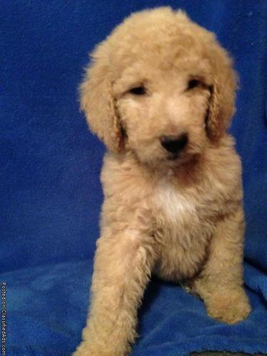 F1b Golden Doodle Puppies For Sale In Coldwater Michigan