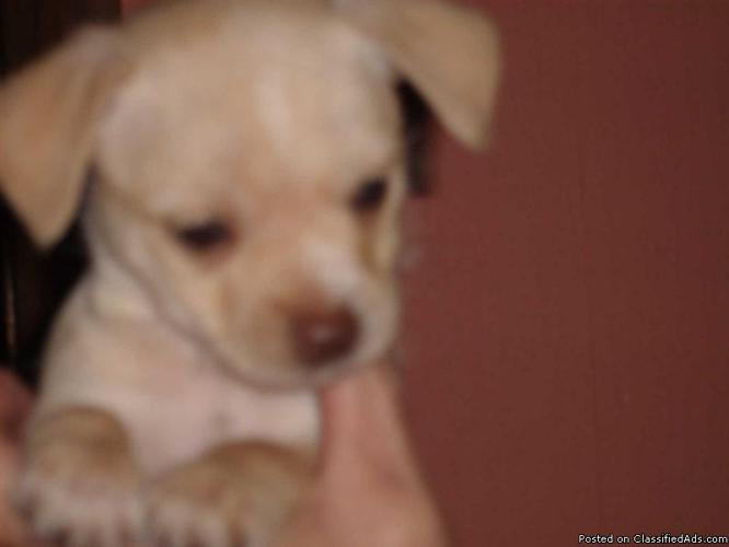 Fawn W/Gold Eyes Male Chihuahua Puppy will be 4-7 pounds - Price: 225