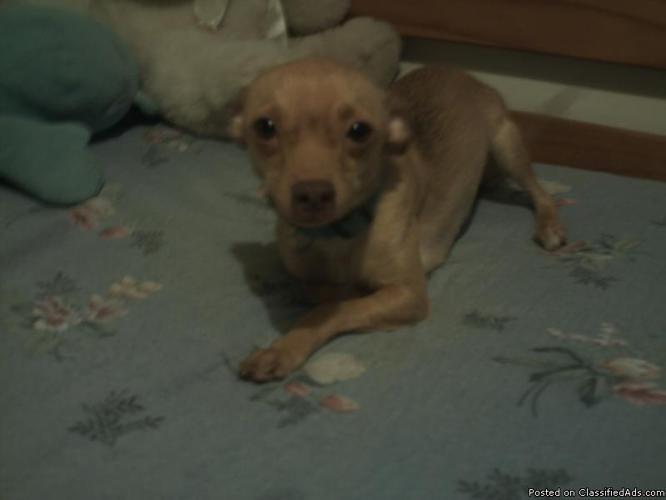 Female chihuahua mix for a good home (South Austin, Texas) - Price: 25.00 Adoption Fee
