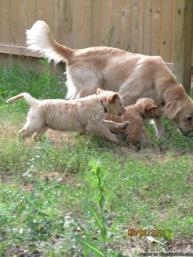 Female Golden Retriever Puppies - Price: $350 for sale in