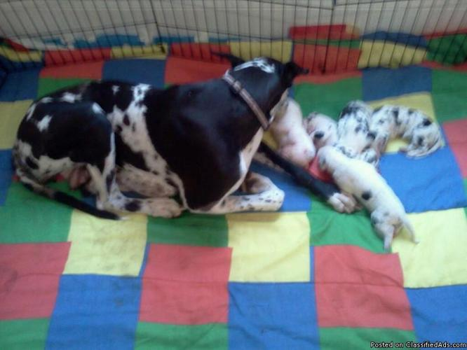 Female Great Dane Puppies FOR SALE - Price: $300