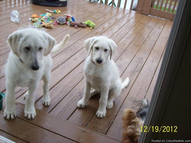 Fi Shepadoodle Puppies - Price: $250