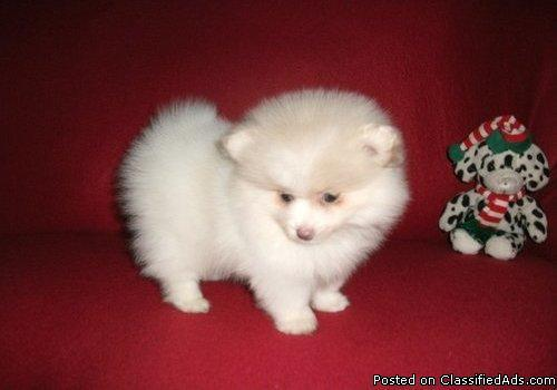 finding my 9weeks old pomeranian and good home to be adopted into - Price: 000