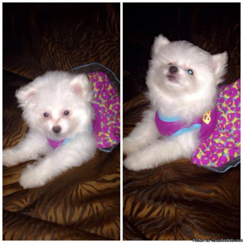 Fluffy all White PomaPoo GIRL! for sale in Bethel ...