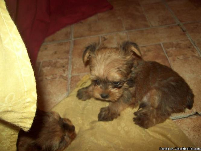 For Sale Teacup Shorkie Shih Tzuyorkie Price 250 For Sale In