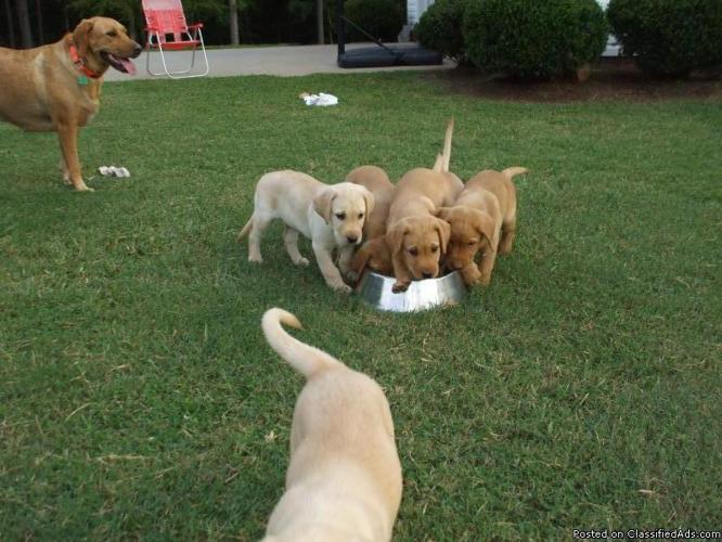 FOX RED/YELLOW LABRADOR PUPPIES - Price: $250 for sale in